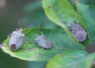 Stink Bugs - control and learn how to get rid of stink bugs
